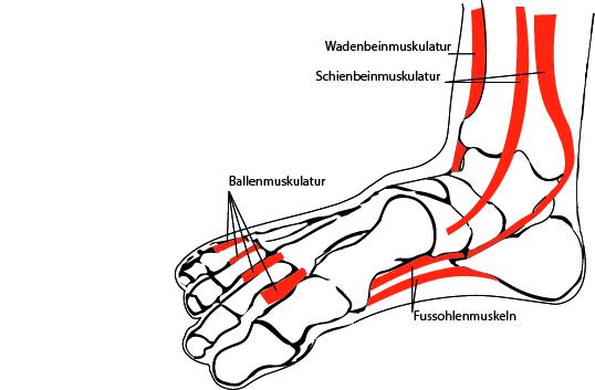 bild anatomie fuss